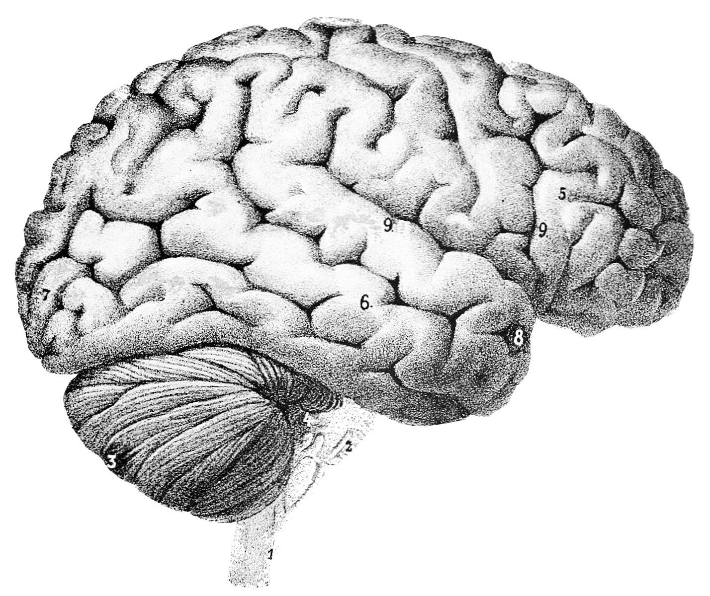 psm_v46_d167_outer_surface_of_the_human_brain-2